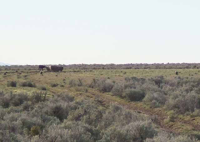 A group of sage-grouse decided to set up a lek next to one of Brackett's cattle watering troughs, so he has discontin-ued the use of the watering area during sage-grouse lekking season.