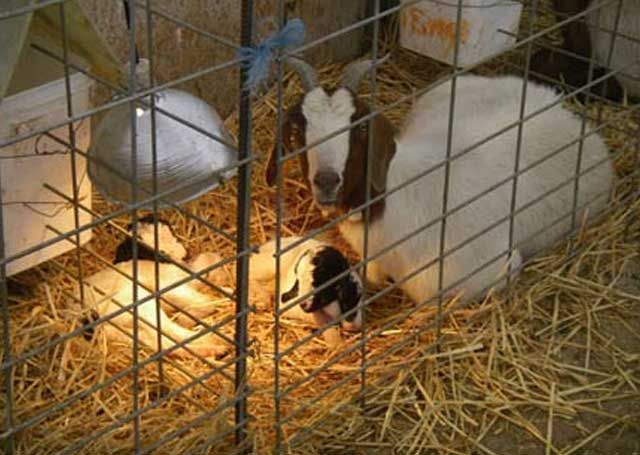 A nanny and her twins rest in the goat barn before being placed outside with larger groups.