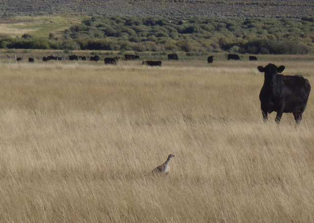 A sage grouse shares the Goldberg Meadow with cattle in late summer. Earlier in the year, the cows are kept away from the meadow so sage grouse broods and other wildlife can thrive. (Photo courtesy NRCS)