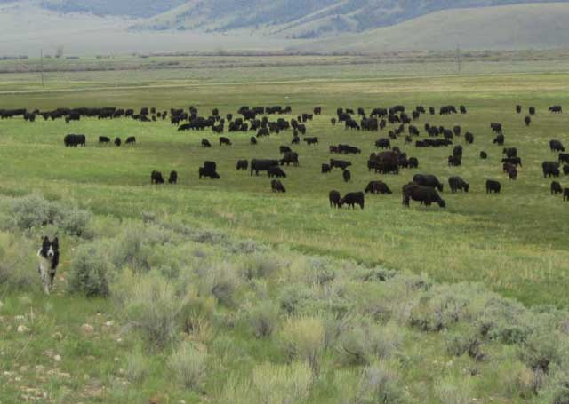 Angus cattle graze in the broad meadows of the Little Eight Mile Ranch under the shadow of the Beaverhead Mountains.