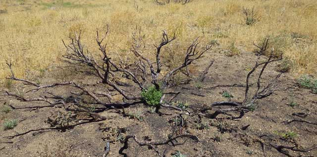 Bitterbrush and sagebrush plants resprouted a year after the fires on their own, plus aerially seeded sagebrush plants also were seen sprouting in a number of locations in the fire zone. This is good news for wildlife.