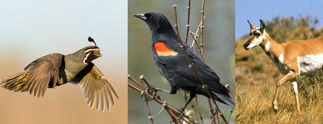 California quail, pronghorn antelope, red-winged blackbirds and bats are among the species that benefit from wetlands.