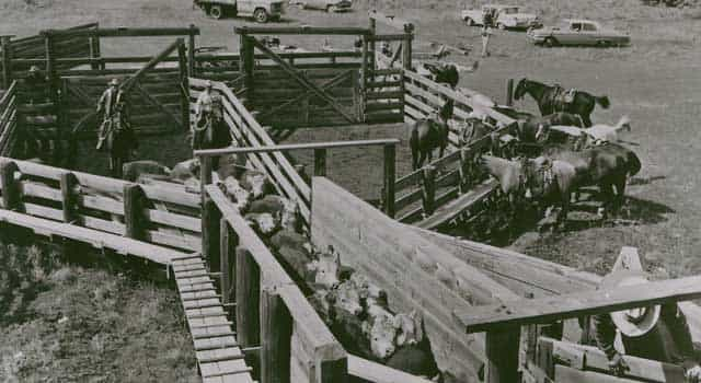 Cattle were loaded onto trains in Island Park to ship them to the market in the fall. (Courtesy Harriman State Park)