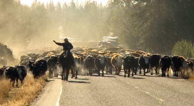 Cowboys-drive-cattle-along-the-Mesa-Falls-Road-min