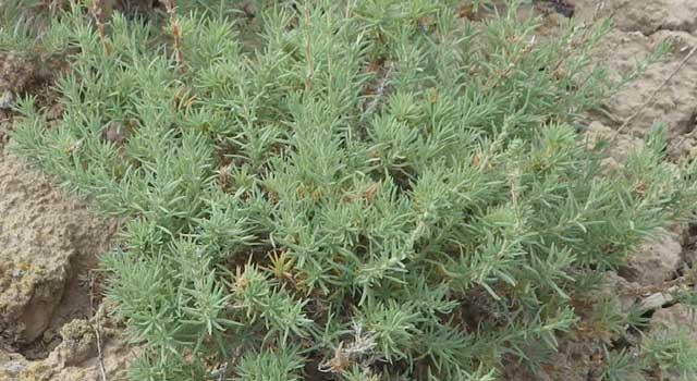 Forage koshia is a hardy perennial shrub,