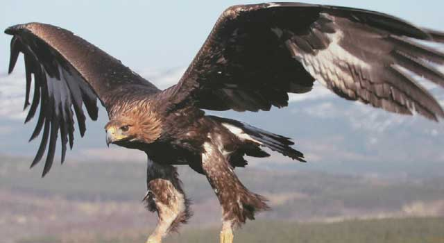 Golden eagle numbers have dropped