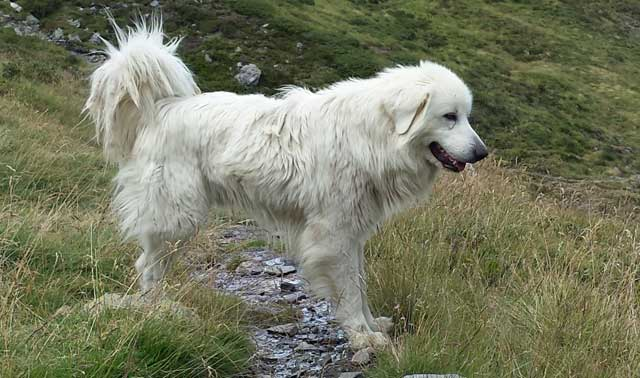 Great Pyrenees guard dogs that protect sheep herds from preda-tors view domestic dogs as potential threats ... be sure to leash dogs when hiking through sheep.