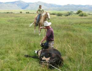 Mark Harris doctors a cow while a guest helps with a rope. Mark says the guests really help keep watch over their cattle in the national forest, reducing their death loss to zero in the last 5 years. The guests also help move the cattle around in the national forest to ensure that pastures don't get overgrazed