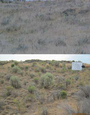 Top photo: Pre-treatment photo of cheatgrass, burned sagebrush and nox-ious weeds in the Kimima area. Above: 10 years after treatment, perennial grasses and sagebrush are growing on the restored site.