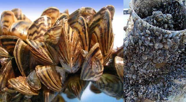 Quagga mussels and zebra mussels