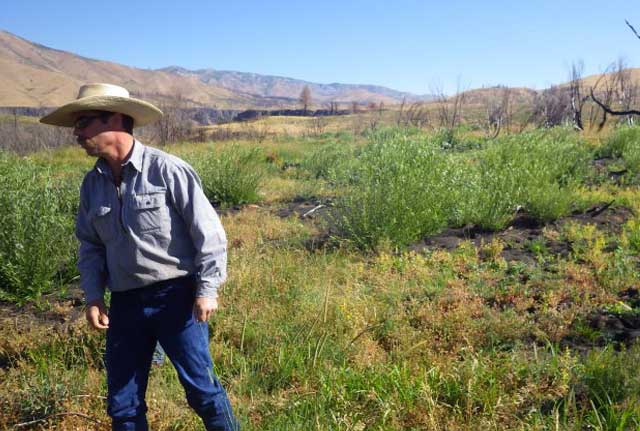 Rancher Charlie Lyons checks out the range plants and robust willow growth in the Dixie Creek area in the summer of 2014, one year after the Elk and Pony complex fires burned 280,000 acres of BLM and Forest Service land.