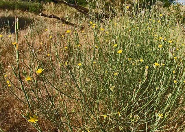 Rush skeleton weed is one of the noxious weeds that domestic sheep like to eat in the springtime. Fish and Game likes the fact the sheep eat white top, another noxious weed, in the Boise River Wildlife Management Area