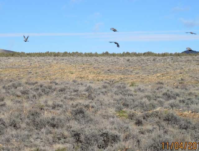Sage grouse moved right into the juniper-treated area on Jim Sage Mountain, literally days after the BLM finished with the juniper-removal project. Below, forbs and grasses sprout after junper removal.
