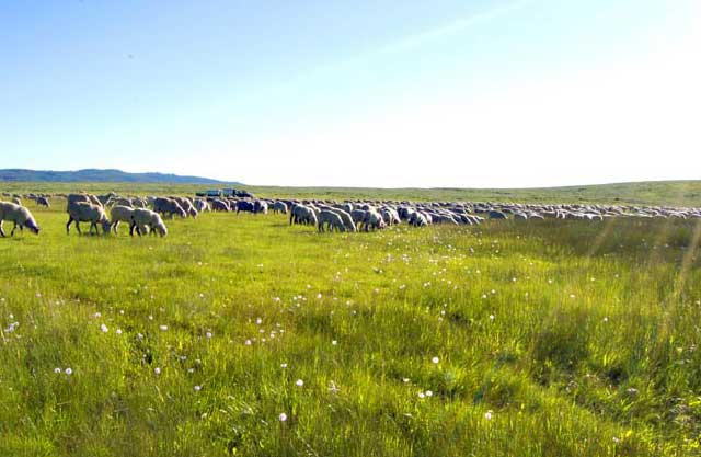 Sheep graze on spring browse on their way to the high country in May