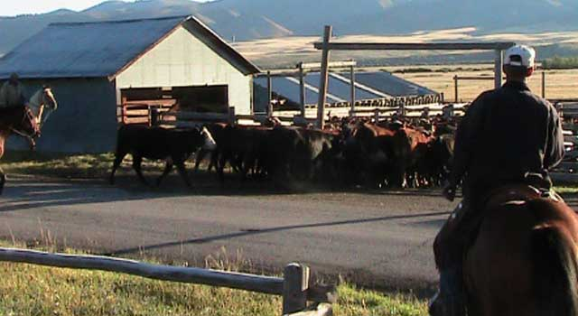 The Harrises and guests herd cattle into the corrals for a cattle sale