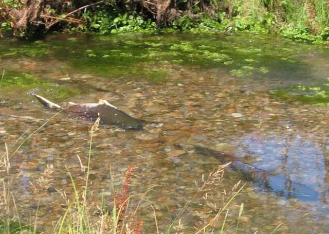 The Little Eight Mile Ranch contains premium spawning habitat for Chinook salmon. The fish swim about 800 miles to their spawning grounds from the Pacific Ocean, climbing over 8 dams along the way.