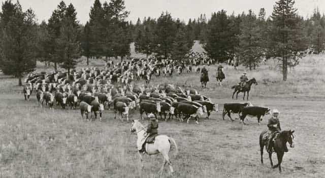 The cattle side of the Railroad Ranch operation min