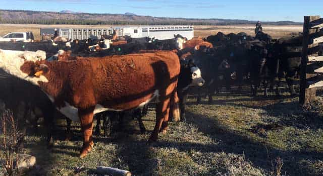 The corrals at Harriman State Park are just as valuable as the grazing areas in the park so ranchers can sort cattle prior to leaving the park in late fall. (Courtesy Harriman State Park)