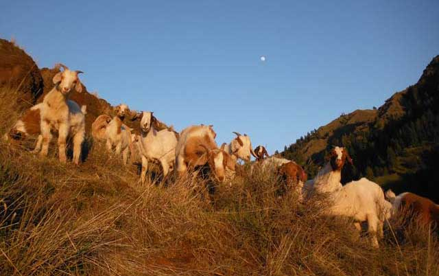 The goats help control yellow starthistle, a prolific noxious weed.