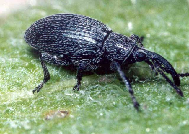 This weevil is expected to be approved in the coming years to do a better job of biocontrol on yellow starthistle.