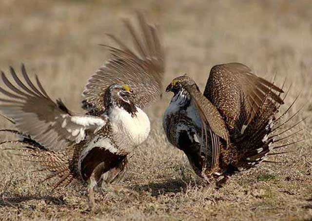 Above, a sage-grouse male and female interact during the mating season in the spring. Photo by Ken Miracle.