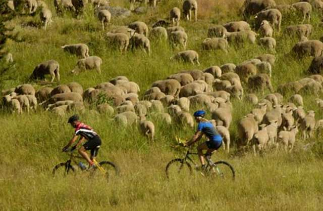 Domestic sheep have been trailed through the Boise Foothills for more than a century. Increased recreation traffic can make it more of a challenge for ranchers, and recreationists have to watch out for guard dogs and keep their pets on a leash. The Care & Share program helps educate recreationists about the issue