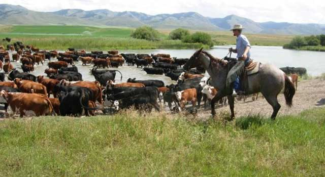 Herding cattle across the Bear River