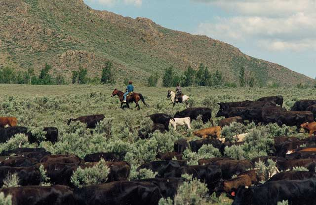 The Peaveys drive their cattle across the high desert in the spring, west of Craters of the Moon National Monument. Diane wrote about cattle drives and many other topics related to cattle and sheep ranching in her radio essays for Boise State Public Radio.