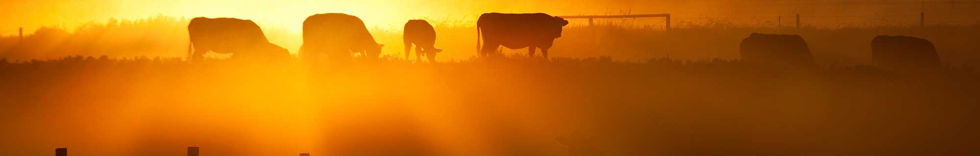 cows at sun rise orange
