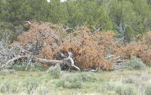 The Bureau of Land Management has been cutting down juniper trees in the Owyhee Mountains for a number of years as its preferred control method, with the intention of following up those treatments with pre-scribed burning. No burning has occurred as yet, however.