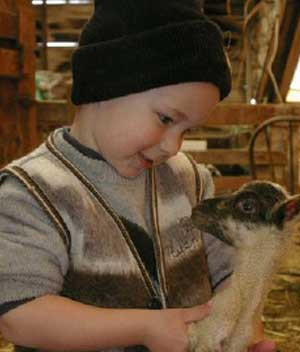 Andrew Noh, John and Julie Noh's son, checks on a young lamb.
