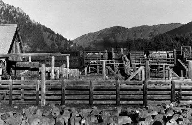 The Trailing of the Sheep Festival pays tribute to the history of sheep ranching in the Wood River Valley. In the early 1900s, there were more sheep shipped out of Ketchum than anywhere else in the United States.