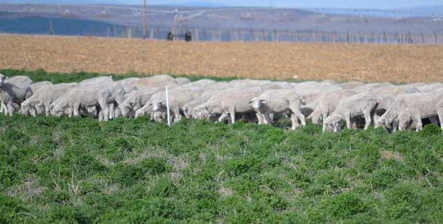 The sheep feed on alfalfa fields on the way home to Wilder.