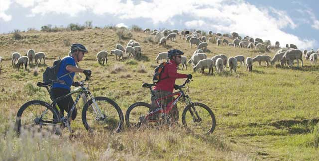 Walking your bike through sheep bands helps to diffuse tension with guard dogs.