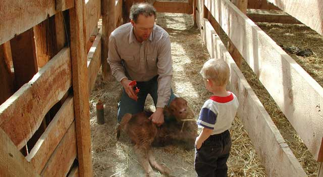 Leon Smith puts an ear tag on a calf while Steve Smith's son supervises
