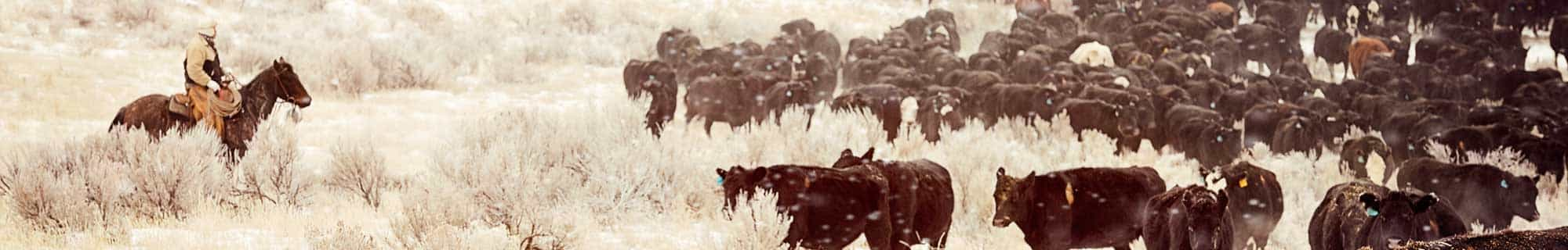 winter cattle drive min